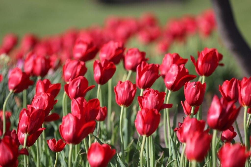 Louisville International Airport Tulips